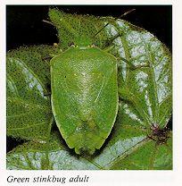 STINK BUGS