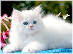 white persian kittens - so beautiful