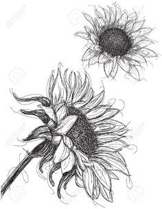 Drawn Sunflower anatomy 24 - 1004 X 1300 Sunflower Sketches, Sunflower Illustration, Sunflower Drawing, Pencil Art Drawings, Tattoo Drawings, Drawing Sketches, Sketching, Sunflower Head, Floral Drawing