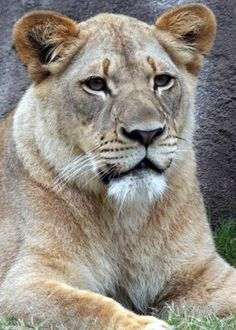 AAAS member Craig Packer: Lioness death at Dallas zoo cause for concern