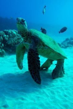 Maui's Turtle Cleaning Station ... where all the cool Hawaiian Sea Turtles come for a make-over!