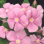 """You've gotta love annual vinca --It will tolerate a wide variety of conditions and still keep it up with almost unreal-looking, glossy green flowers and pretty pink, lavender, or red flowers that look like tiny parasols.    Whether the summer is dry or wet, hot or cold, vinca plugs along unfazed. Vinca withstands drought but does best with moderate moisture. Fertilize occasionally.  This plant tends to be """"self-cleaning"""" and needs little deadheading."""