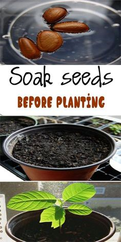 Soaking seeds before planting