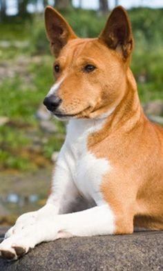 Basenji - He looks so regal with his paws just so