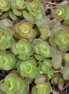 Sedum spurium Common Name: Fuldaglut Full Sun Perennials, Full Sun Plants, Cactus Types, Plant Zones, Garden Projects, Garden Ideas, Back Gardens, Star Shape, Garden Planning