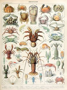 Antique Crustaceans Print French Ocean Larousse Crustaces Sea Life Marine Animals Zoology Crab Lobster Original Lithograph by catladycollectibles on Etsy Illustration Française, Antique Illustration, Botanical Illustration, Décor Antique, Antique Prints, Vintage Prints, Art Vintage, Life Poster, Sea And Ocean