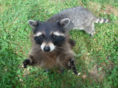 Racoon_by_AnTheilo