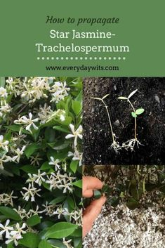 Trachelospermum commonly known as star jasmine or confederate jasmine is a very attractive, evergreen, twining climber, with fragrant flowers. Propagation of star jasmine (trachelopermum) is… Growing Flowers, Planting Flowers, Flowering Plants, Star Jasmine Vine, Wholesale Plant Nursery, Wholesale Plants, Jasmine Plant, Plant Cuttings, Colorful Garden