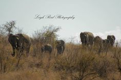 Gorgeous large family of African elephants spotted whilst on a game drive Kruger National Park, African Elephant, Lonely Planet, Elephants, Travel Guide, South Africa, Wildlife, Game, African Bush Elephant