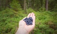 Current weather and hiking conditions in Nuuksio National Park in Vihti and Espoo, Finland. Updated every week with new photos from the national park. Wild Blueberries, Helsinki, Finland, Blueberry, National Parks, Fruit, Eat, Nature, Berry