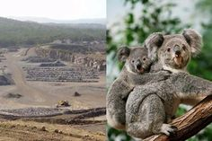 Na Austrália, 52 hectares de habitat de coala estão sendo destruídos para expandir uma pedreira - GreenMe Brasil South Wales, Newcastle, Bear, Koalas, Brazil, Wild Animals, Parts Of The Mass, Scenery, Bears