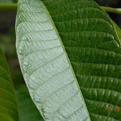 Planteaza un nuc. Iata cum te poate ajuta! - Infuzie de Sănătate Plant Leaves, Therapy, Diet, Plant