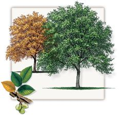 Cedar Elm Tree | Mature Height: 40' - 50' | Growth Rate: 2' - 3' Per Year | Fall Color: Golden Yellow #trees #landscaping #gardening