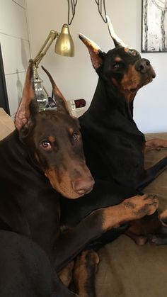 The Doberman Pinscher is among the most popular breed of dogs in the world. Known for its intelligence and loyalty, the Pinscher is both a police- favorite bree Doberman Pinscher Dog, Doberman Dogs, Dobermans, Blue Doberman, Doberman Tattoo, Animals And Pets, Baby Animals, Cute Animals, Black And Tan Terrier