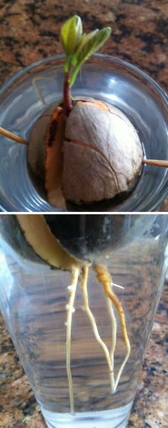 How to Grow an Avocado Tree : Eat an avocado (fun part) - Clean-off the pit - Suspend it over a dish of water with toothpicks (half-submerged) - Wait 3 to 6 weeks for it to sprout.