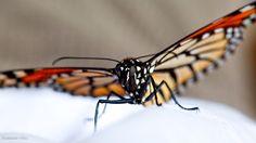Monarch Butterfly, Angangueo, Michoacán, México