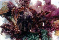 Smooth Rock Crab sitting on sponge and algae