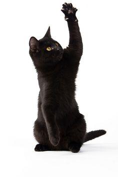Cute Black Kitten by Walter G. Arce, via Flickr