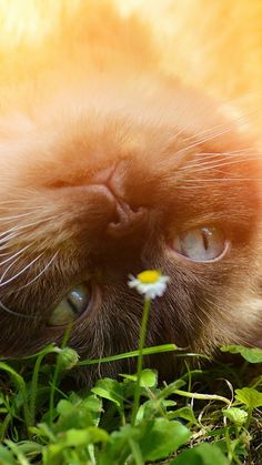 720x1280 Wallpaper british shorthair, cat, grass, muzzle, lying, playful