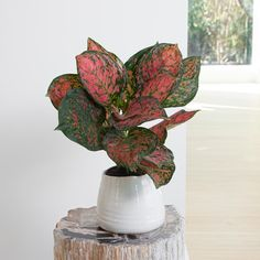 The Chinese Evergreen Wishes will brighten up any end table or shelf in your home thanks to the pink and red variegated hues of the broad leaves. Like all Chinese Evergreen, this low maintance plant can do well in any amount of indirect light. Plant Lighting, Plant Sale, Terracotta Pots, Low Lights, Houseplants, Fireworks, Evergreen, Indoor Plants, Wish
