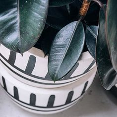 Ficus Burgundy + Pop & Scott 'Mali' Pot from the Tribal Range. Image by Bobby + Tide