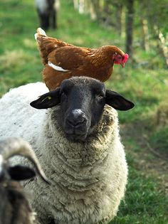 Hens just catching a ride.......Sheep and Chicken cutest-critters
