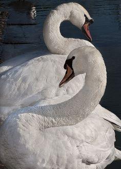 Two swans basking and preening on quai Claude Bernard.