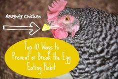 How to Stop Your Chicken From Eating its Eggs :: Five Little Homesteaders