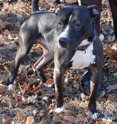 Check out Gino's profile on AllPaws.com and help him get adopted! Gino is an adorable Dog that needs a new home. https://www.allpaws.com/adopt-a-dog/american-pit-bull-terrier/6332204?social_ref=pinterest