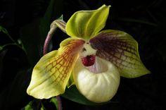 Paphiopedilum malipoense x hangianum, via Flickr.