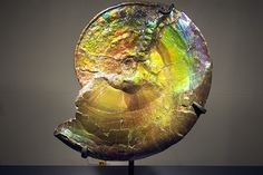 Ancient ammonite, form the Museum of Natural History, New York City