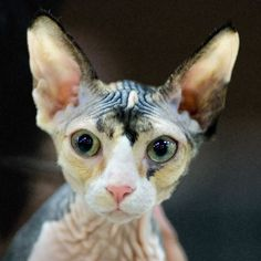 Calico Sphynx by Peter Hasselbom - A young sphynx with a darling temperament. Contrary to many of my portrait photos from cat shows, her pupils are not totaly diluted, indicatiing that she's ok with the unfamiliar settings. Cornish Rex Cat, Mean Cat, Sphinx Cat, Sphynx, Hairless Cats, Cute Wild Animals, Devon Rex, Pretty Cats, Pretty Kitty