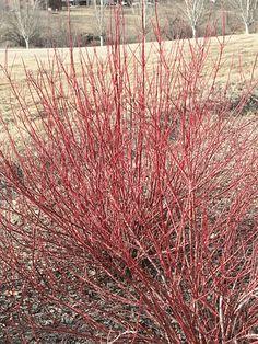 Cornus sericea (Red twig Dogwood) near pond Path Design, Landscape Design, Garden Design, Garden Park, Rain Garden, Types Of Soil, Types Of Plants, Red Twig Dogwood, Water Wise Landscaping