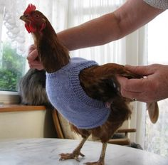 Chicken Sweater Free Knitted Pattern