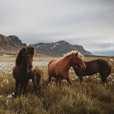 Wild horses among the wildflowers in the Scottish Highlands