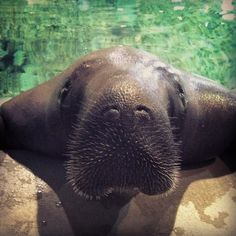 @bradentongulfislands | Be sure to visit Snooty, the worlds oldest manatee at South Florida Museum!