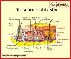Skin Anatomy, Subcutaneous Tissue, Skin Structure, Hair Follicles, Layers Of Skin, Neurons, Free Hair, Skin Tone