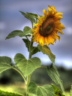 Photos of France - Landscapes - cityscapes - Toulouse - cars - HDR photos Giant Sunflower, Sunflower Garden, Sunflower Art, Happy Flowers, Beautiful Flowers, Sun Flowers, Flowers Nature, Beautiful Gorgeous, Sunflowers And Daisies