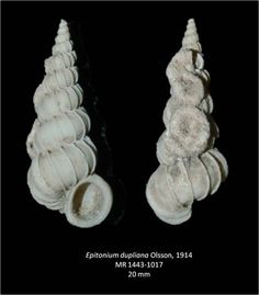 Epitonium dupliana uploaded in Gastropods of the Tamiami Formation: Order [center][background=rgb(227,220,202)][unassigned] Caenogastropoda[/bac...