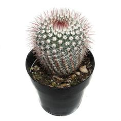 Silver Ball Cactus | 2.5 inch | Notocactus Scopa | Live Cactus Plant | Small Cactus | House Plant |#ball #cactus #house #inch #live #notocactus #plant #scopa #silver #small Small Cactus Plants, Cactus House Plants, Indoor Plants, Cacti, Page And Plant, Plant Care, How To Take Photos, Succulents, Silver