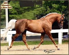 Morab stallion SAX Gold Dust