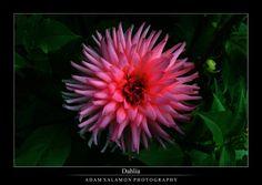 Dahlia by inf23.deviantart.com on @DeviantArt