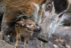 Red river hog mother Dagamba with her baby Tonka at the Zoologischer Garten zoo in Berlin. Tonka was born on 1 September 2012 at the zoo. In the wild, the pigs live in Africa, preferring areas close to rivers or swamp. Photograph: Ole Spata/AFP/Getty Images
