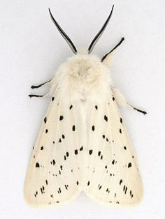 Description and photographs of the moth: White Ermine Spilos. - Description and photographs of the moth: White Ermine Spilosoma lubricipeda Beautiful Bugs, Beautiful Butterflies, Papillon Butterfly, Mantis Religiosa, Photo Animaliere, Cool Bugs, Bugs And Insects, Beautiful Creatures, Cool Stuff