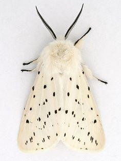 Moth - White Ermine (Spilosoma lubricipeda)
