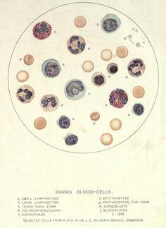 Blood cells; Erythrocytes, Leukocytes, and Platelets (thrombocytes).   My favorite!