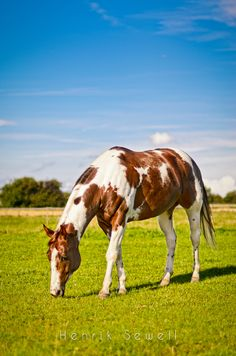 ☀Paint in colour by Henrik Sewell on 500px* || chestnut tobiano pinto | chestnut pinto