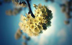 Cherry Blossoms HD Wallpaper | 999HDWallpaper