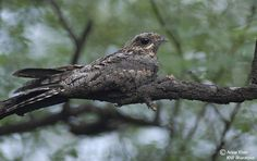 Grey Nightjar (Caprimulgus jotaka), is a species of nightjar found in East Asia. It is sometimes treated as a subspecies of the Jungle Nightjar (C. indicus), its South Asian relative.[1]