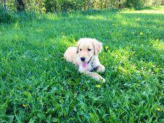 Golden retriever puppy #daisy